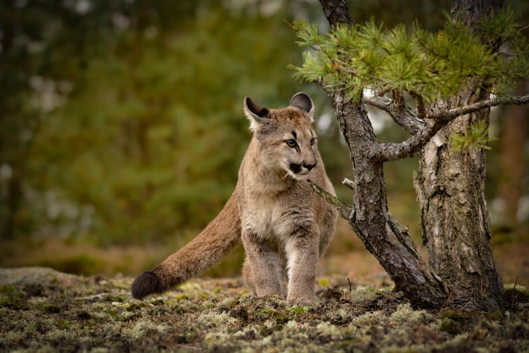 What To Do If You See A Cougar While Hiking