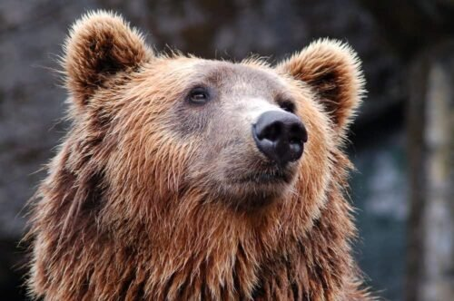 face of a brown bear