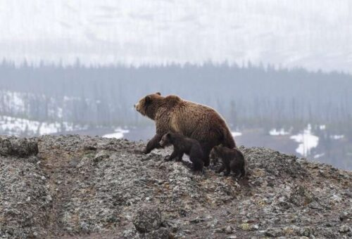 brown bear and two cubs walking on rocky terrain with snow in background